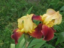 радужки сада Стоковая Фотография