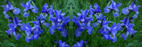Радужки цветков кровопролитное Цветы лета цветет лепестки bluets яркое Падения ветви росы стоковая фотография rf
