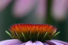 разбивочное coneflower Стоковое Фото
