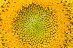 разбивочный солнцецвет Стоковое Фото