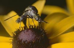 разбойник мухы стоковое фото rf