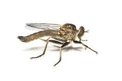 разбойник мухы Стоковая Фотография