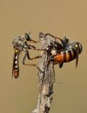 разбойник мухы Стоковое Изображение RF