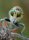 разбойник мухы стоковая фотография rf