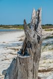 Разваленный пень дерева на пляже стоковые фотографии rf