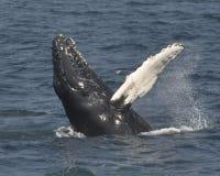 Развевать горбатого кита Стоковая Фотография