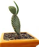 развевать кактуса Стоковое Изображение