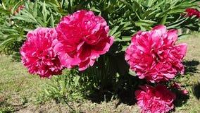 Развевать сада красный и розовый пиона куста сток-видео
