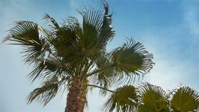 Развевая пальмы на Cote d'Azur Франции сток-видео