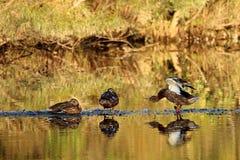 Развевая утка Стоковые Фото