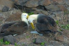2 развевали альбатросы сопрягая в островах Галапагос Стоковые Изображения