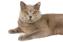 разведите великобританского кота стоковые изображения