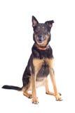 разведите чабана смешанного собакой стоковое фото rf