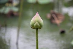 Развейтесь лилия воды Стоковые Изображения RF