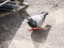 Развел голубя на открытых местностях стоковое изображение rf