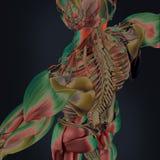 Развертка тела стоковое изображение rf