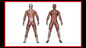 Развертка человеческой анатомии, мужских мышц акции видеоматериалы