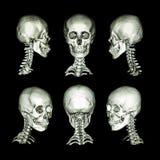 Развертка CT и изображение 3D Нормальный человеческий череп и цервикальный позвоночник Все направление стоковое изображение rf