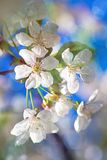 Разветвите к цветя дереву aple Стоковая Фотография RF