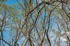 Разветвите на предпосылке голубого неба Стоковая Фотография RF