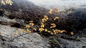 Разветвите на утесе с оранжевыми просвечивающими листьями Translucides апельсина feuilles rocher àООН sur Branche стоковые изображения rf