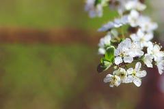 Разветвите при белые цветки вишни зацветая весной Стоковая Фотография RF