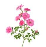 Разветвите при малые розовые розы изолированные на белизне Стоковое Фото