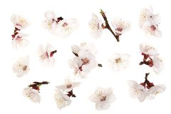 Разветвите при цветки абрикоса изолированные на белой предпосылке Взгляд сверху Плоское положение Комплект или собрание Стоковая Фотография