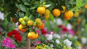 Разветвите с апельсинами и листьями зеленого цвета, красочными цветками на предпосылке акции видеоматериалы