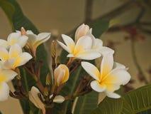 Разветвите с белыми цветками на предпосылке Стоковые Изображения RF