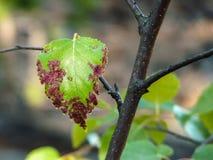 Разветвите с больными лист заболевания струпа яблока Стоковое Изображение