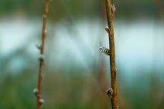 Разветвите с бутонами весной стоковое фото rf
