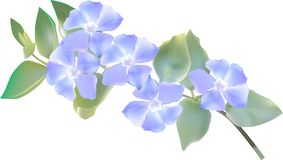 Разветвите с 5 голубыми цветенями на белизне Стоковая Фотография