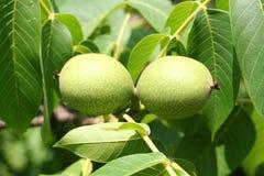 Разветвите с грецким орехом Естественный и здоровый продукт Стоковые Изображения RF