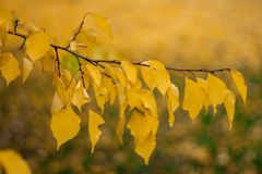 Разветвите с желтыми листьями против солнечного света Листья осени Стоковая Фотография
