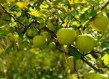 Разветвите с зелеными яблоками стоковая фотография rf