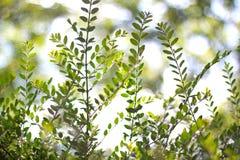 Разветвите с зелеными листьями Стоковая Фотография RF