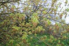 Разветвите с зелеными листьями Стоковое фото RF