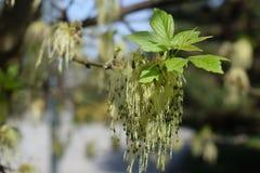 Разветвите с зелеными листьями стоковые фотографии rf