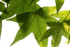 Разветвите с зелеными свежими листьями в лесе Стоковая Фотография RF