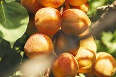 разветвите с зрелыми сочными абрикосами Стоковое Фото
