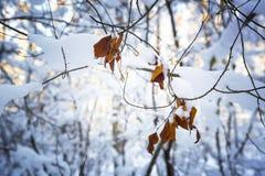 Разветвите с листьями в снеге Стоковое Изображение