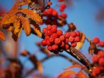 Разветвите с красными ягодами рябины Стоковые Изображения RF