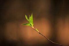 Разветвите с молодыми листьями весной стоковые изображения