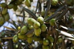 Разветвите с оливками на оливковом дереве Стоковое Изображение
