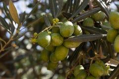 Разветвите с оливками на оливковом дереве Стоковые Изображения RF