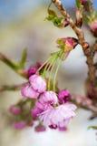 Разветвите с розовыми вишневыми цветами Стоковое Фото