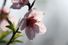 Разветвите с розовыми цветениями Стоковые Изображения RF