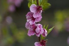 Разветвите с свежим цветенем цветка персик-дерева или крупного плана Prunus Persica в саде, Софии Стоковое Изображение