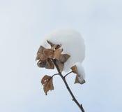 Разветвите с снегом против голубого неба Стоковые Изображения